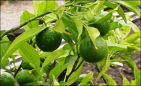 """Citrus sinensis"" o naranja"